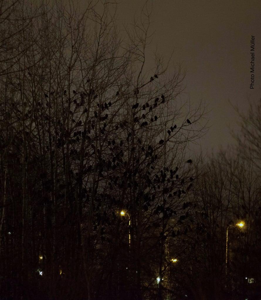 Aamu-uniset naakat nukkuvat vielä. Kuva Michael Müller.
