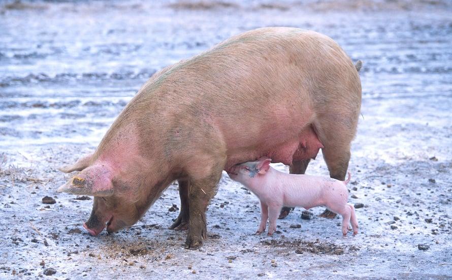 """Domestikoitu sika on villiä sukulaistaan vaaleampi, sillä on lyhyempi nokka ja sen häntä on usein kippurassa. Kuva: <span class=""""photographer"""">Scott Bauer / USDA</span>"""