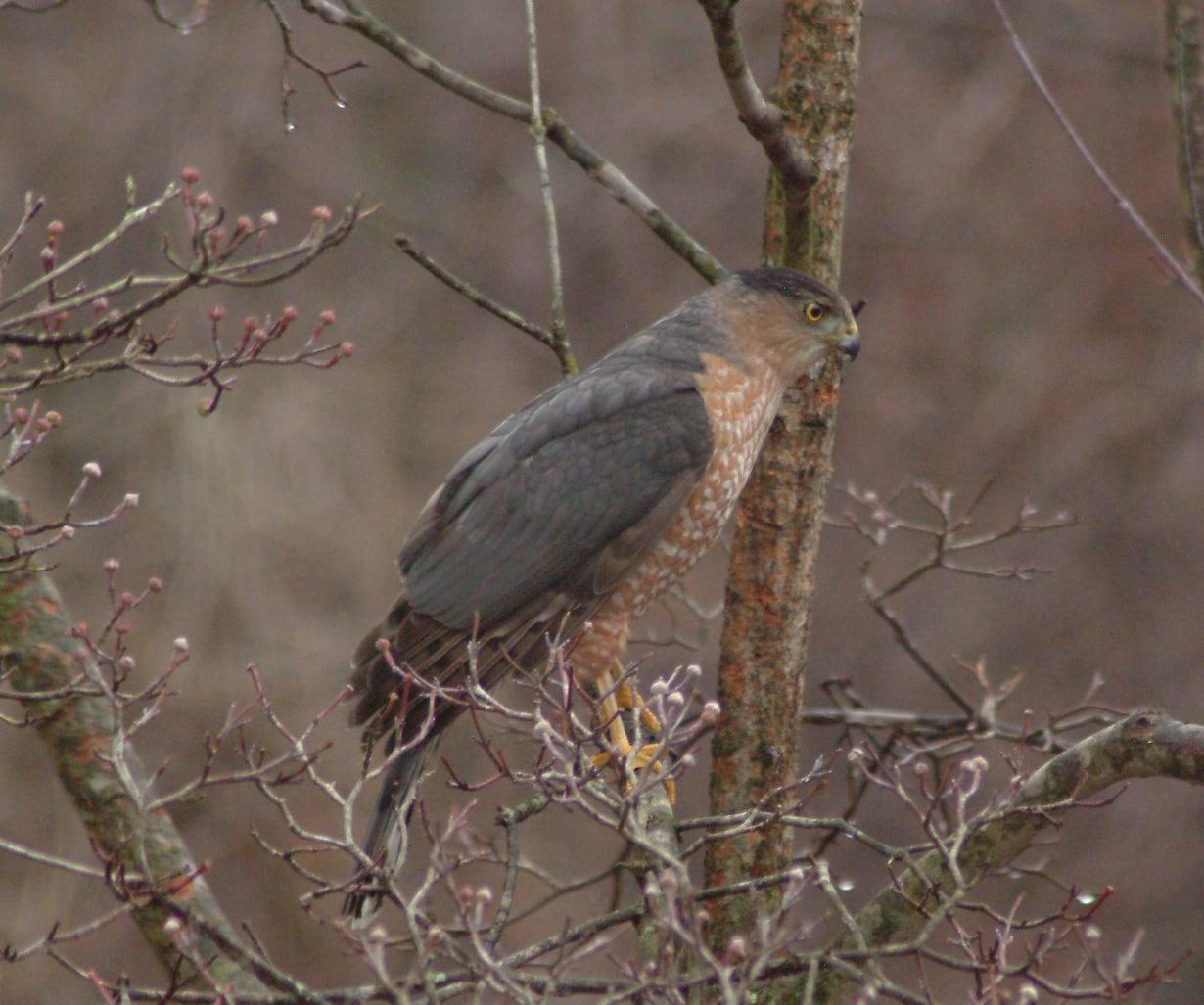 Tämän kyyhkyhaukan lajitoveri on maailman saastunein lintu.
