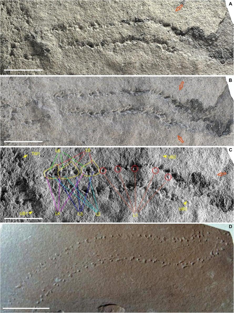 """Ötökkä meni tästä 500 miljoonaa vuotta sitten. Janan pituus on kaksi senttiä. Kuva: <span class=""""photographer"""">L. Buatois</span>"""