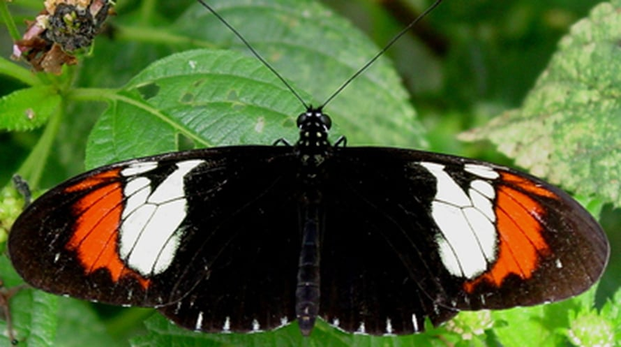 "Hybridiperhonen H. heurippa.  Kuva: <span class=""photographer"">Christian Salcedo</span>"