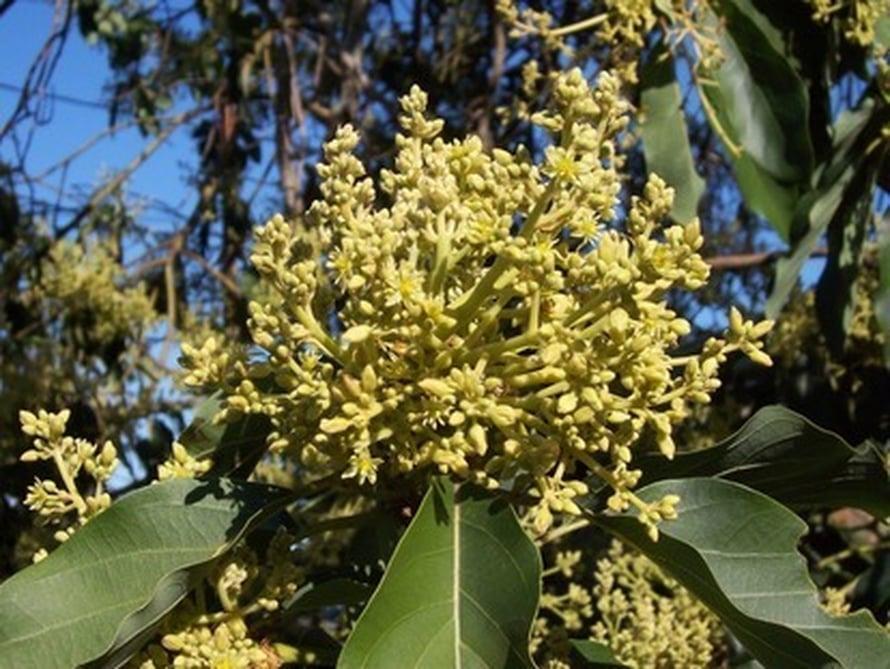 """Tutkijat pääsivät ensimmäisiin kukkiin johtaneiden geneettisten muutosten jäljille avokadopuun avulla.  Kuva: <span class=""""photographer"""">Wikimedia Commons</span>"""