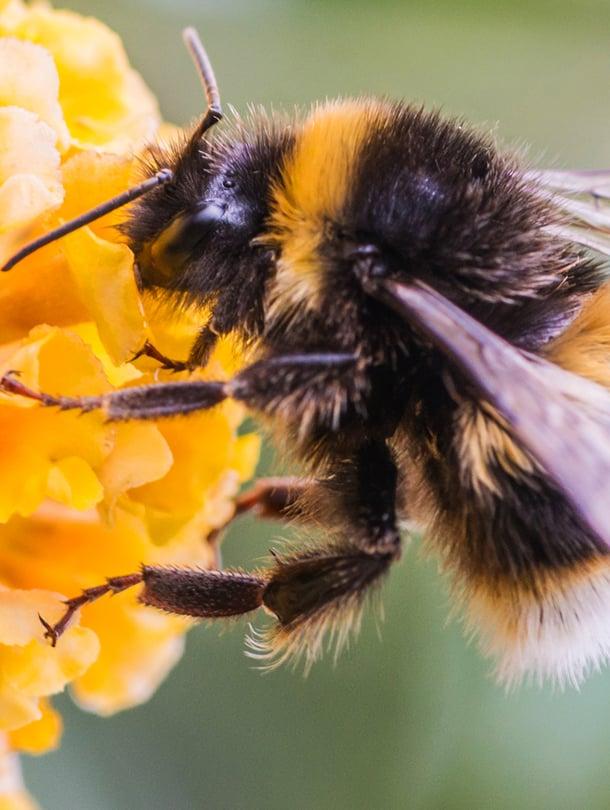 """Kimalainen kävi alkuun myös mehiläisestä. Kuva: <span class=""""photographer"""">Getty Images</span>"""