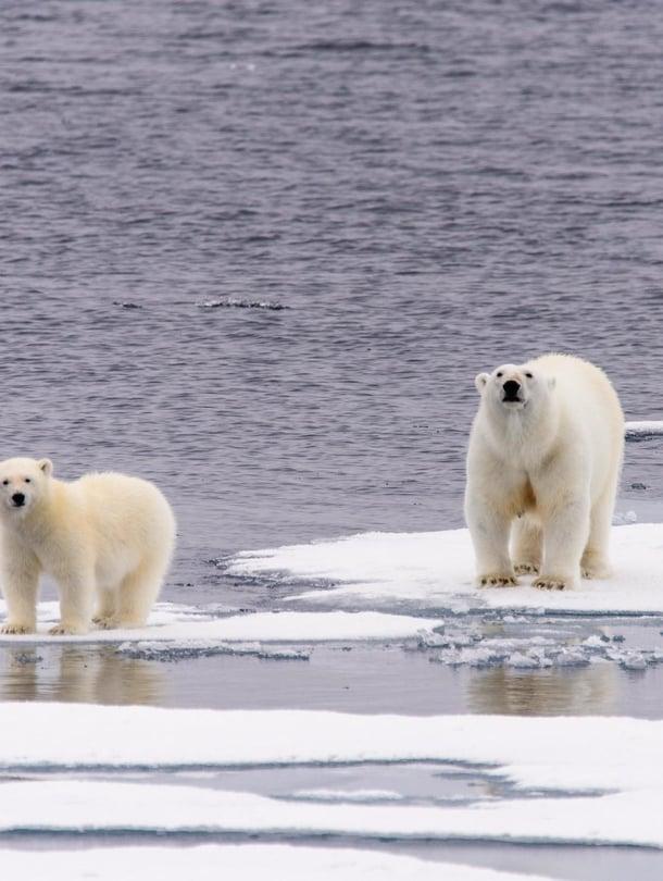 """Arktisen alueen jään sulaminen tekee jääkarhujen elämän vaikeaksi. Kuva: <span class=""""photographer"""">Shutterstock</span>"""