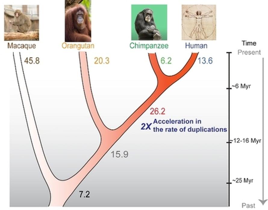 """Ihmisen ja simpanssin esi-isän perimän osat kahdentuivat poikkeuksellisen kiivaasti 8-12 miljoonaa vuotta sitten. Kuva: <span class=""""photographer"""">stockxpert.com/Tomas Marques-Bonet.</span>"""