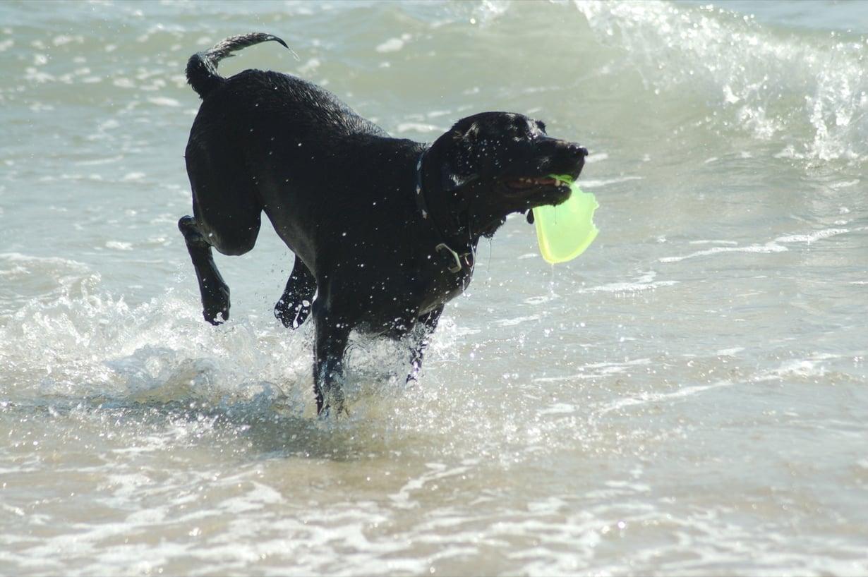 Labradorinnoutaja auttaa tutkijoita kehittämään syöpien määritysmenetelmiä.