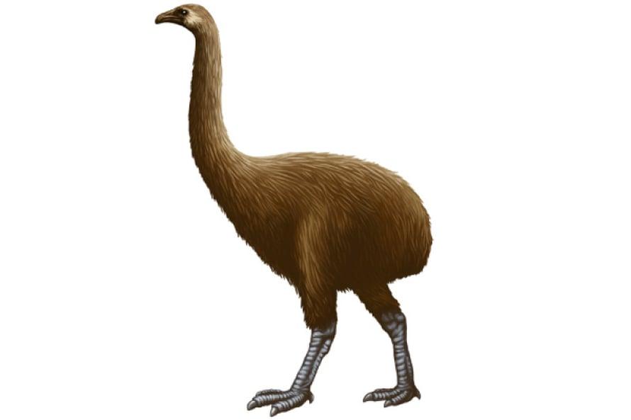 Moa:  useita lajeja,  lahko Dinornithiformes.