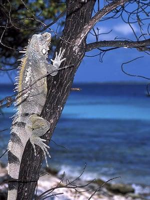 """Iguaaneja, kuten kuvan Iguana iguana, tavataan Keski- ja Etelä-Amerikassa sekä Karibialla. Tämä yksilö kuvattiin Hollannin Antilleilla. Kuva: <span class=""""photographer"""">CLAY COLEMAN / SCIENCE PHOTO LIBRARY</span>"""