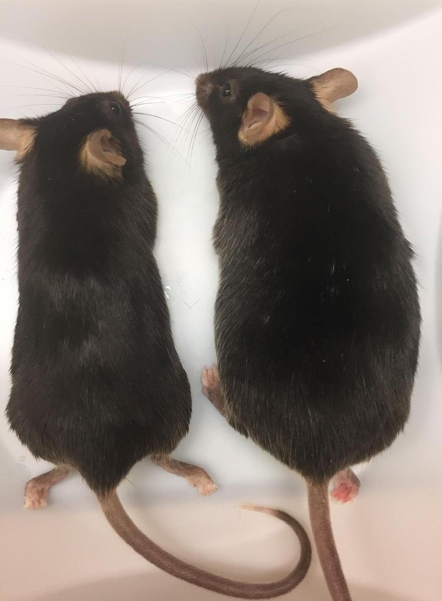 """Hiiri oikealla on lihonut huomattavasti kaveriaan tuhdimmaksi. Siltä puuttuu ankyrin-b -nimistä proteiinia tuottava geeni kokonaan. Kuva: <span class=""""photographer"""">UNC Nutrition and Obesity Research Center</span>"""
