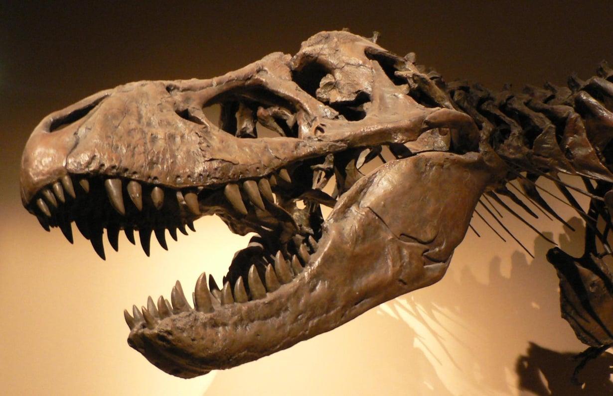 Tyrannosaurus talloi Maata, kun asteroidi iskeytyi Meksikoon. Kuvan luuranko majailee Palais de la Découvertessa Pariisissa. Kuva: David Monniaux/Wikimedia Commons
