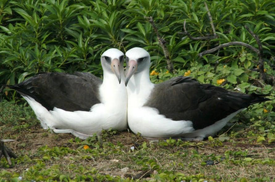 """Havaijinalbatrossinaaraat saattavat rakentaa yhteisen pesän ja hoitaa poikaset keskenään. Parisuhde voi kestää koko iän. Kuva: <span class=""""photographer"""">Eric VanderWerf</span>"""