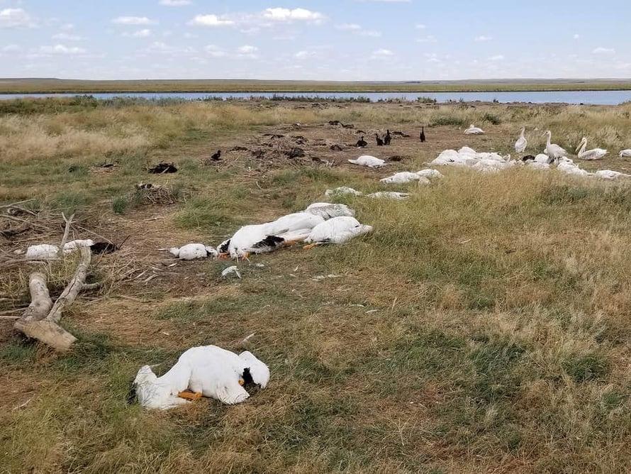 """Muun muassa pelikaaneja ja merimetsoja kuoli rakeisiin. Kuva: <span class=""""photographer"""">Montana Fish, Wildlife and Parks</span>"""