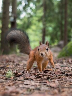 """Orava on aktiivinen päiväsaikaan toisin kuin useimmat muut jyrsijät ja nisäkkäät ylipäätään. Kuva: <span class=""""photographer"""">Ossi Saarinen</span>"""