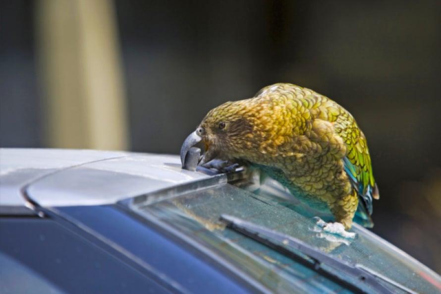 Rikkoisinko tämän? Uhanalainen kea on maailman leikkisin lintu. Sen leluksi kelpaa mikä vain, minkä voi saada irti ja hajottaa. Kuva Shutterstock.