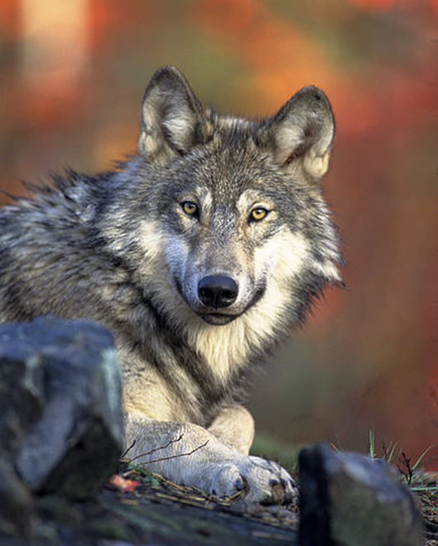 Kuva: Wikimedia Commons, U. S. Fish and Wildlife Service.