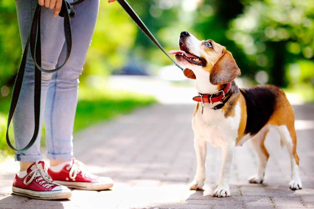Koira suhtautuu ihmisiinsä niin kuin pentususi oman laumansa aikuisiin. Kuva: Shutterstock