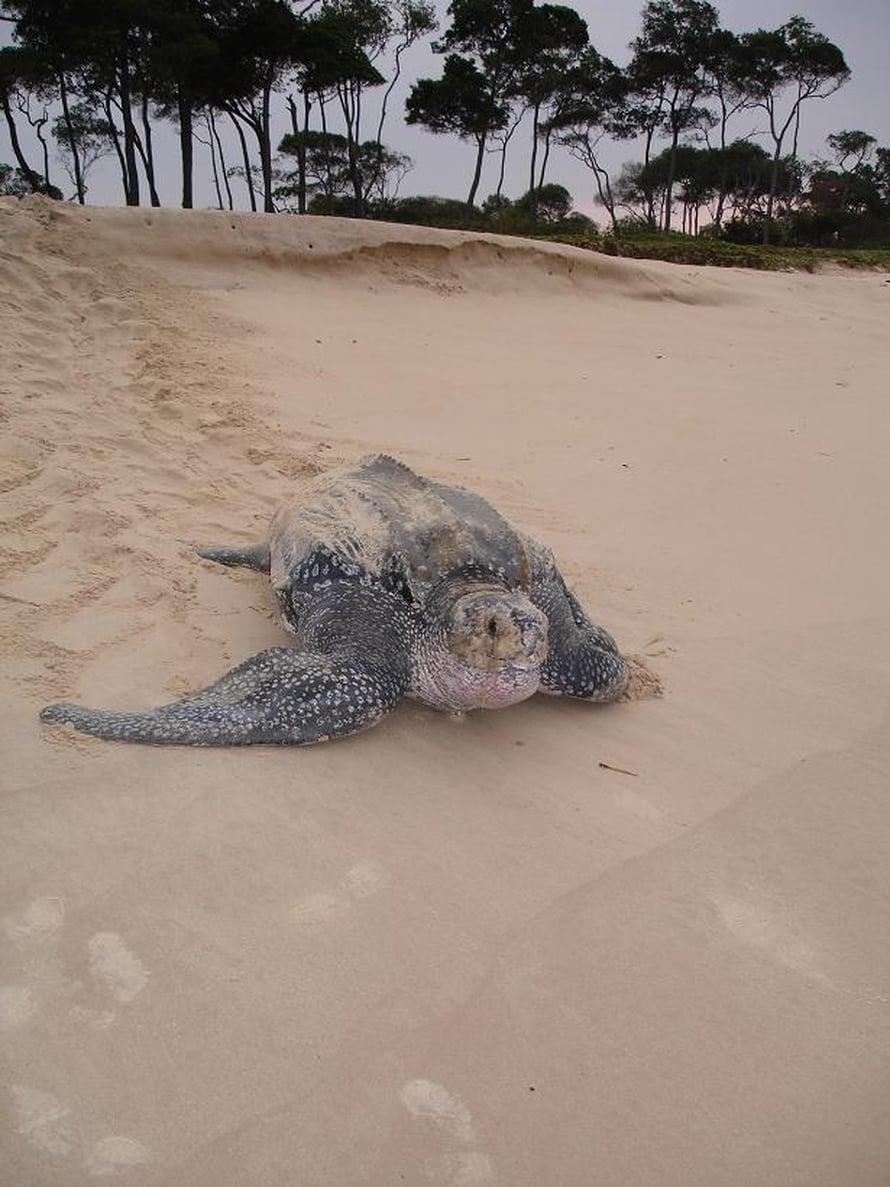 Merinahkakilpikonna rannalla Etelä-Atlantilla.