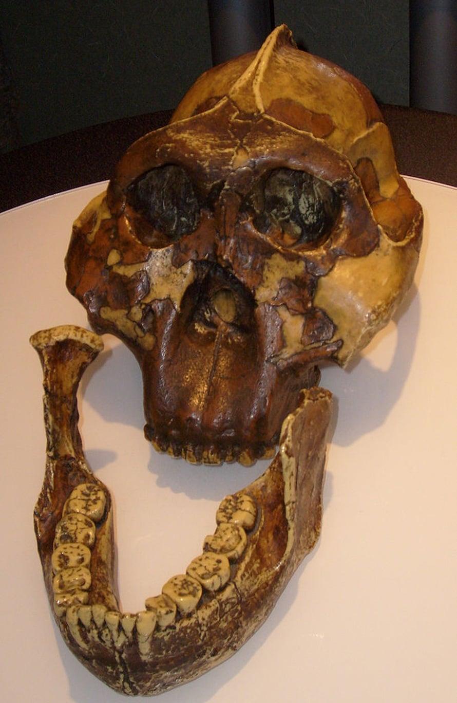 Vankka-apinaihmisellä oli nimen mukainen leukavarustus, joka sopi sitkeiden ja kovien kasvien jauhamiseen.