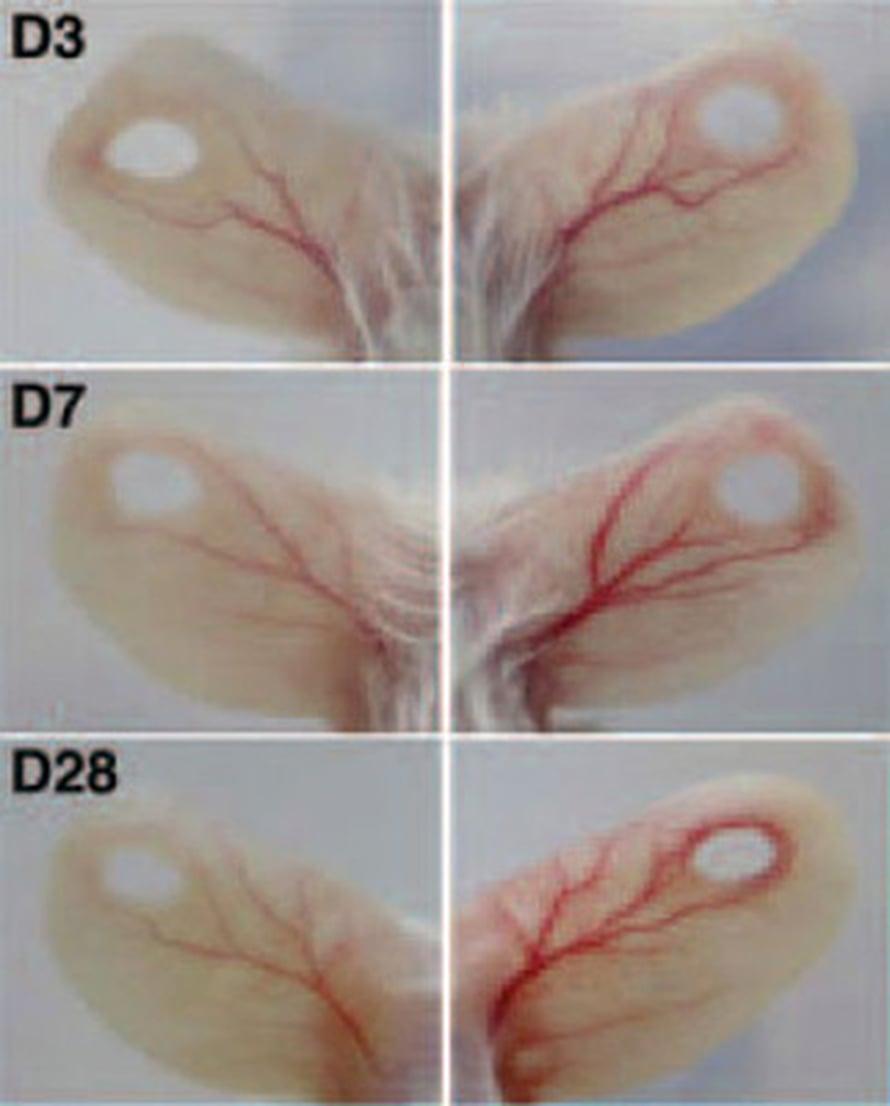 Näin COMP-Ang1 vauhditti verenkiertoa ja haavan umpeutumista hiiren korvissa 3, 7 ja 28 päivässä. Verrokit vasemmalla.