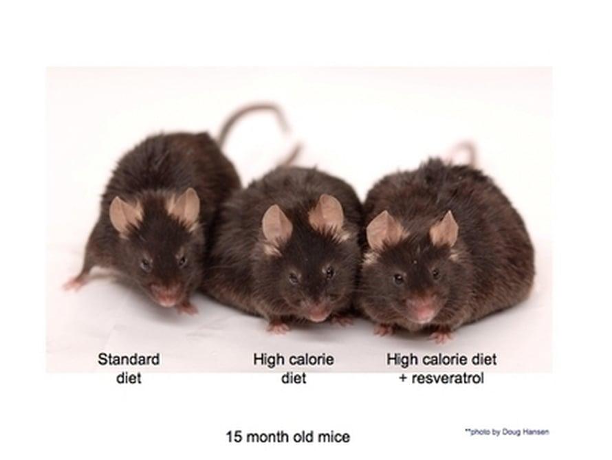 """Vasemmalla normaaliruokaa syövä, keskellä raskasta ruokaa saava ja oikealla resveratrolihiiri. Kuva: <span class=""""photographer"""">Doug Hansen.</span>"""