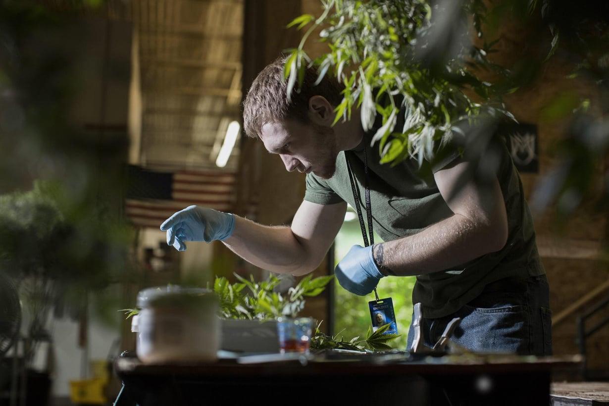 Marihuanaa kasvatetaan Denverissä Coloradossa, jossa sen myynti laillistettiin 2014. Kuva: Maija Tammi