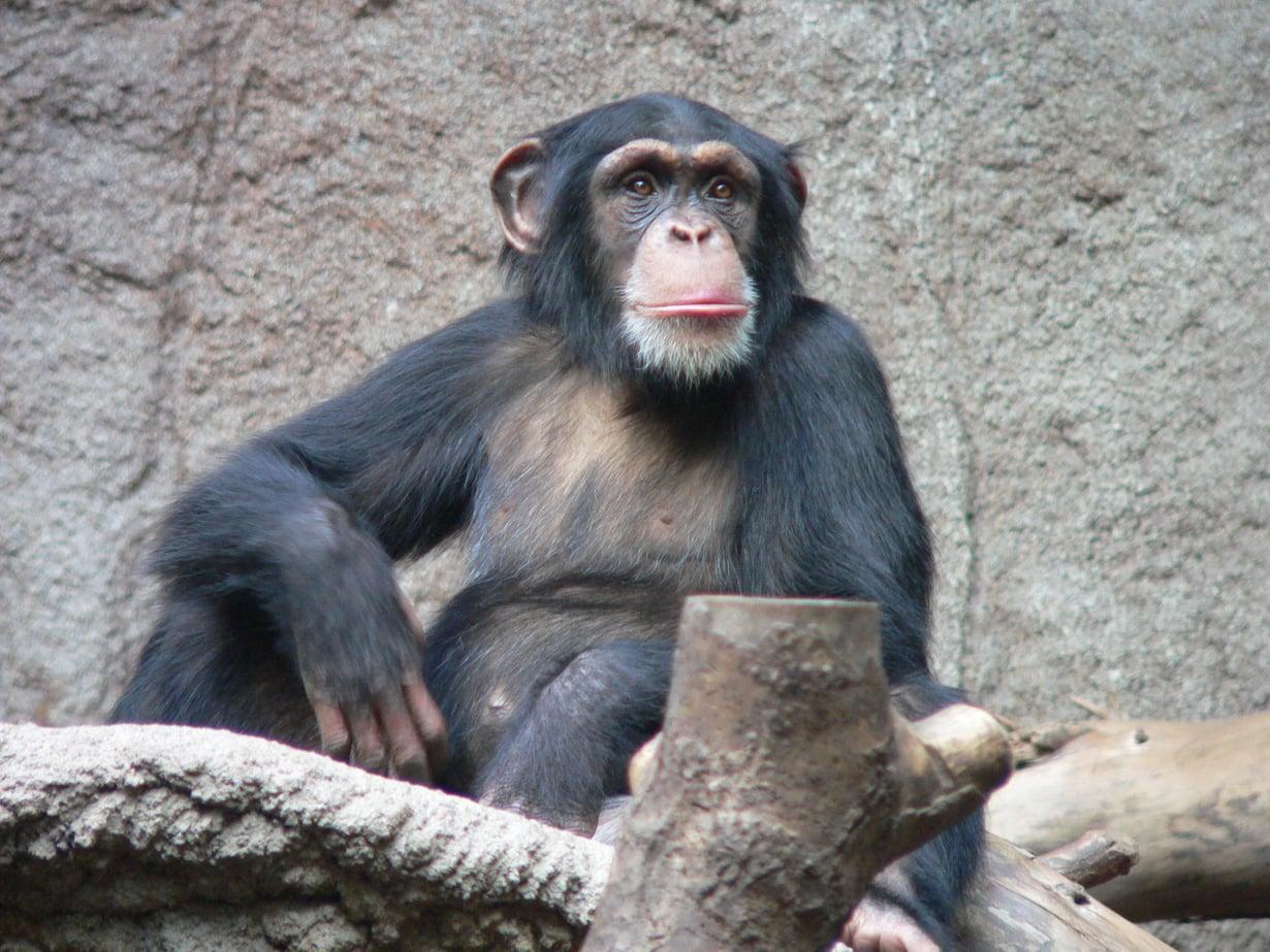 Simpanssi tukeutuu käsiinsä kävellessään. Kuva: Thomas Lersch, Wikimedia Commons