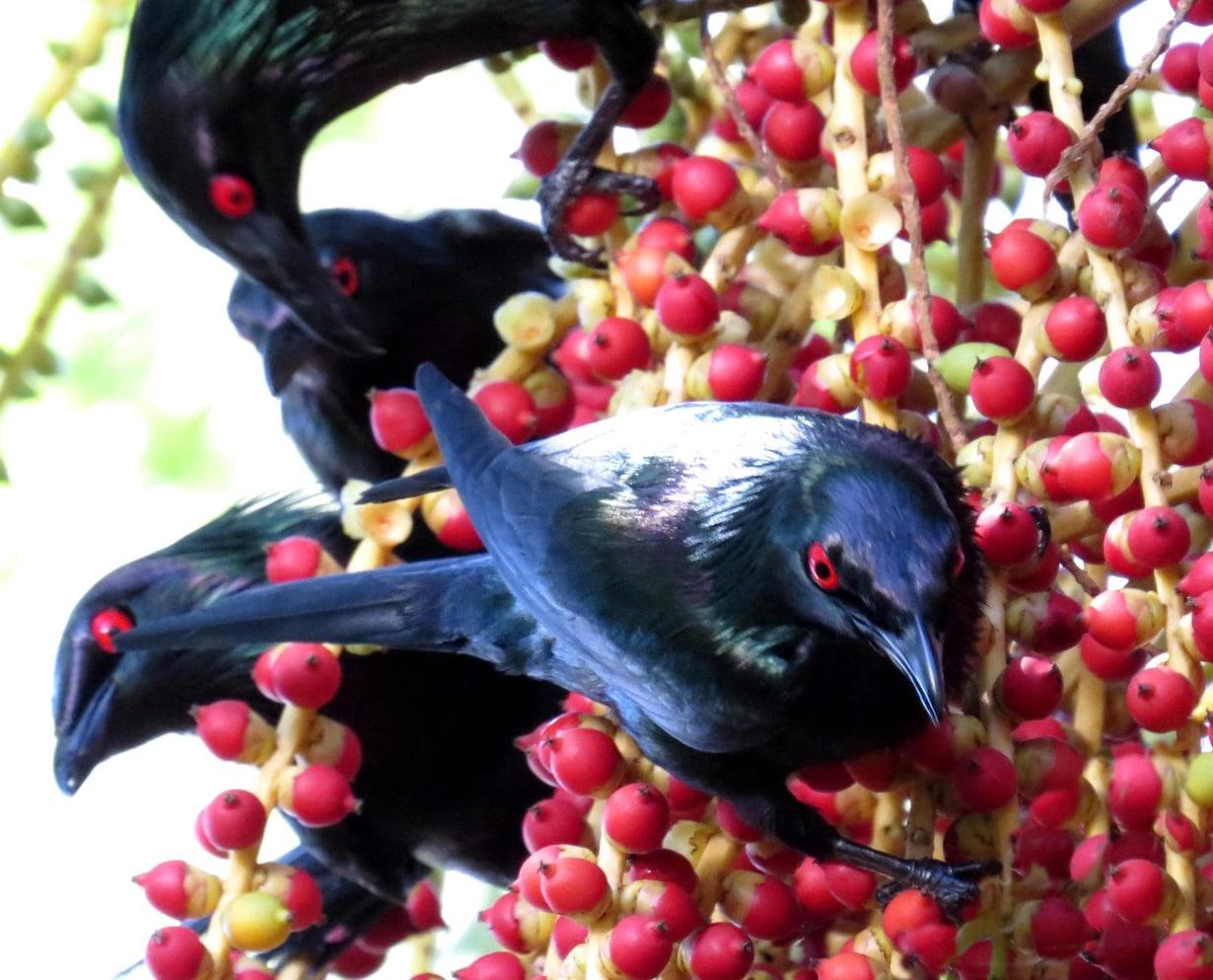 Viherkottarainen elelee tuhannen lajitoverin kanssa samassa puussa.