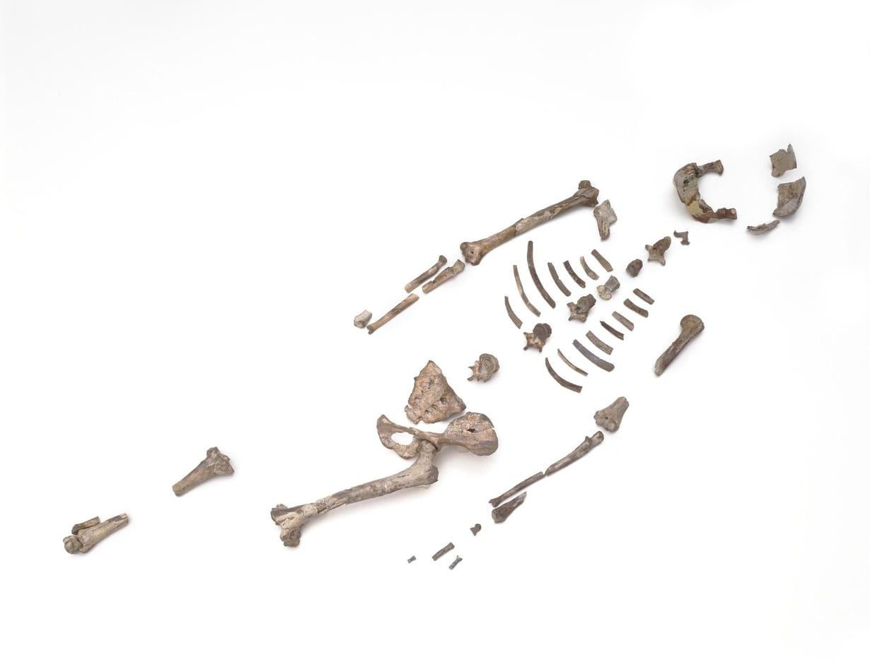 Lucyn 3,18 miljoonaa vuotta vanhojen luiden murtumat ovat syntyneet rajusta iskeytymisestä maahan. Kuva: Marsha Miller / University of Austin