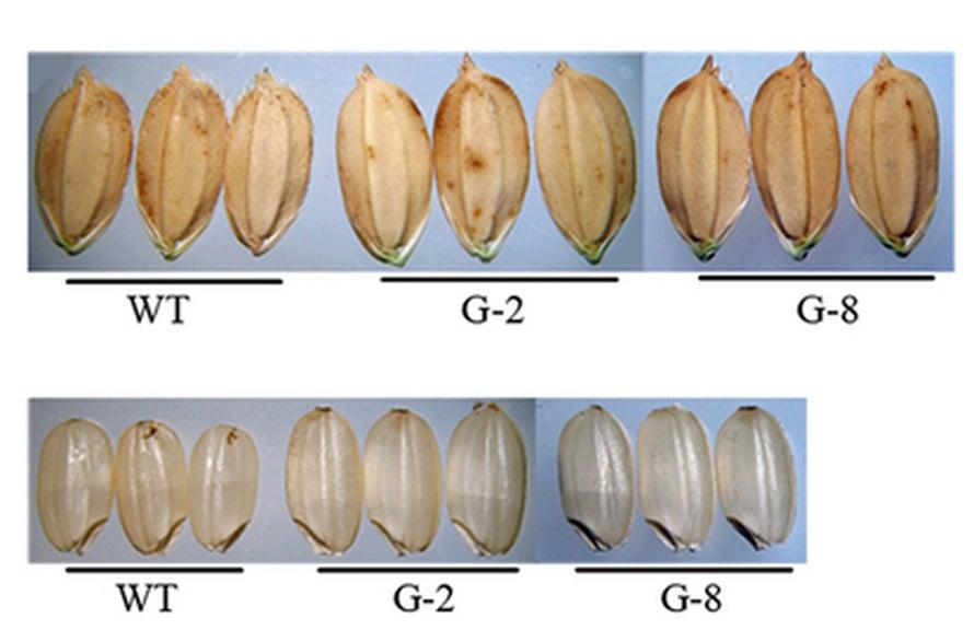 """Transgeeniset riisit (G-2 ja G-8) kasvavat isommiksi ja pulleammiksi kuin tavallinen (WT). Kuva:<span class=""""photographer"""">Zuhua He, Chinese Academy of Sciences</span>"""