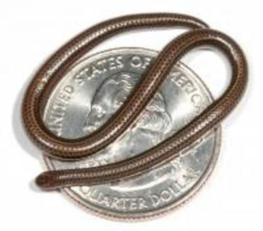 """Leptotyphlops carlae on 3100 tunnetusta käärmelajista piskuisin.  Kuva:  <span class=""""photographer"""">Blair Hedges, Penn State</span>"""
