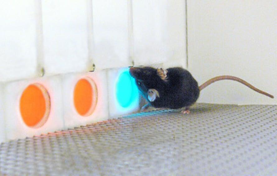 """Siirtogeeninen hiiri näkee enemmän värejä. Kuva: <span class=""""photographer"""">Gerald Jacobs.</span>"""