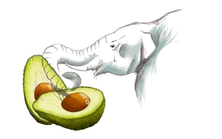Avokadon leviäminen on ollut ihmisen varassa sen jälkeen, kun mastodontit ja muu megafauna katosivat.