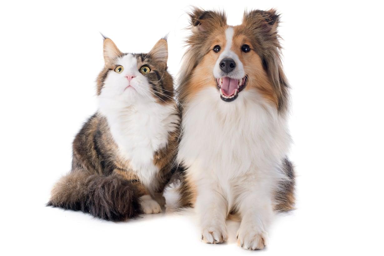 Joissakin testeissä kissa pärjää paremmin, joissakin koira. Kuva: Getty Images