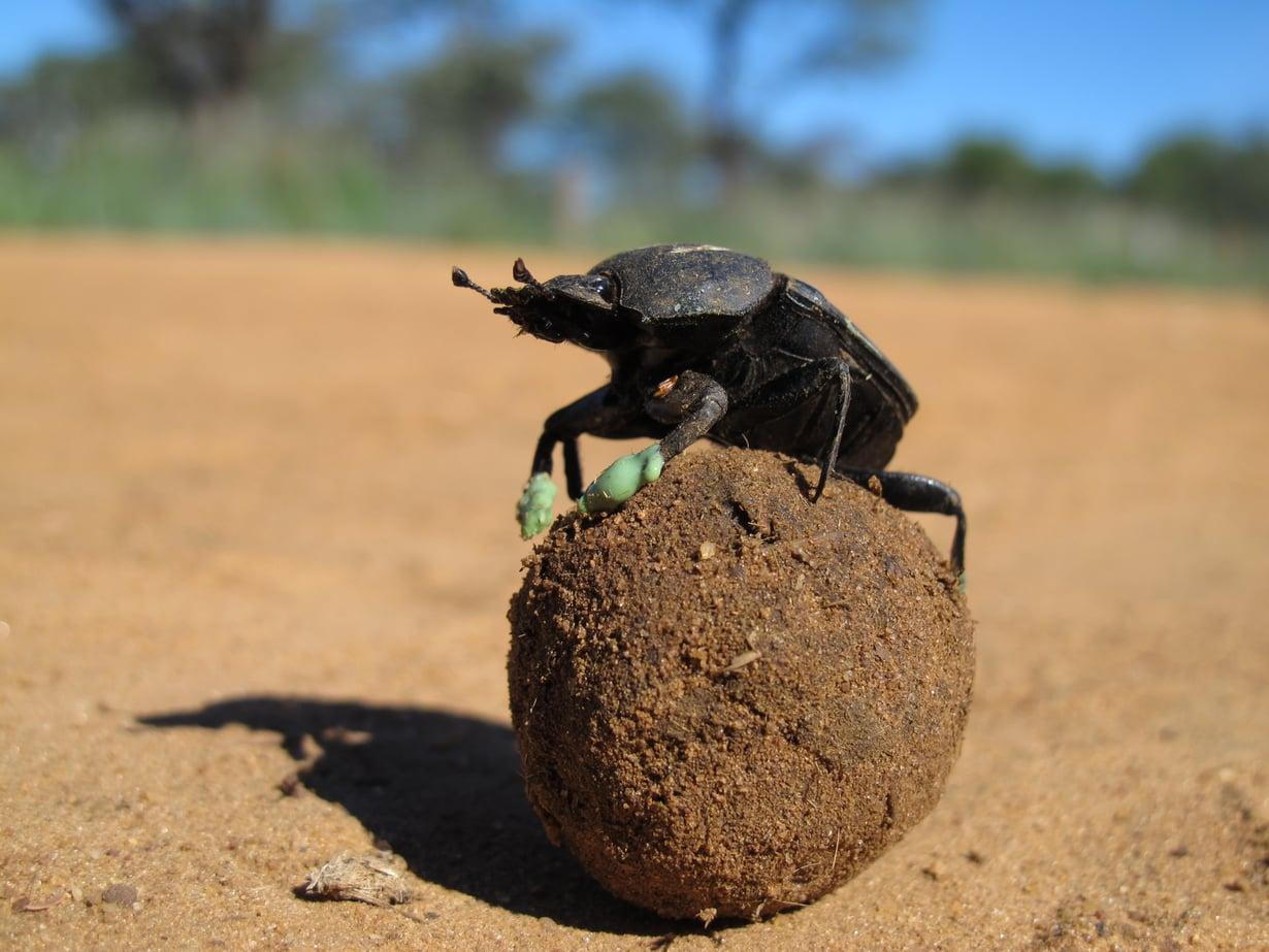 Tutkijat testasivat lantakuoriaisten käyttäytymistä kuorruttamalla niiden etujalat silikonilla.