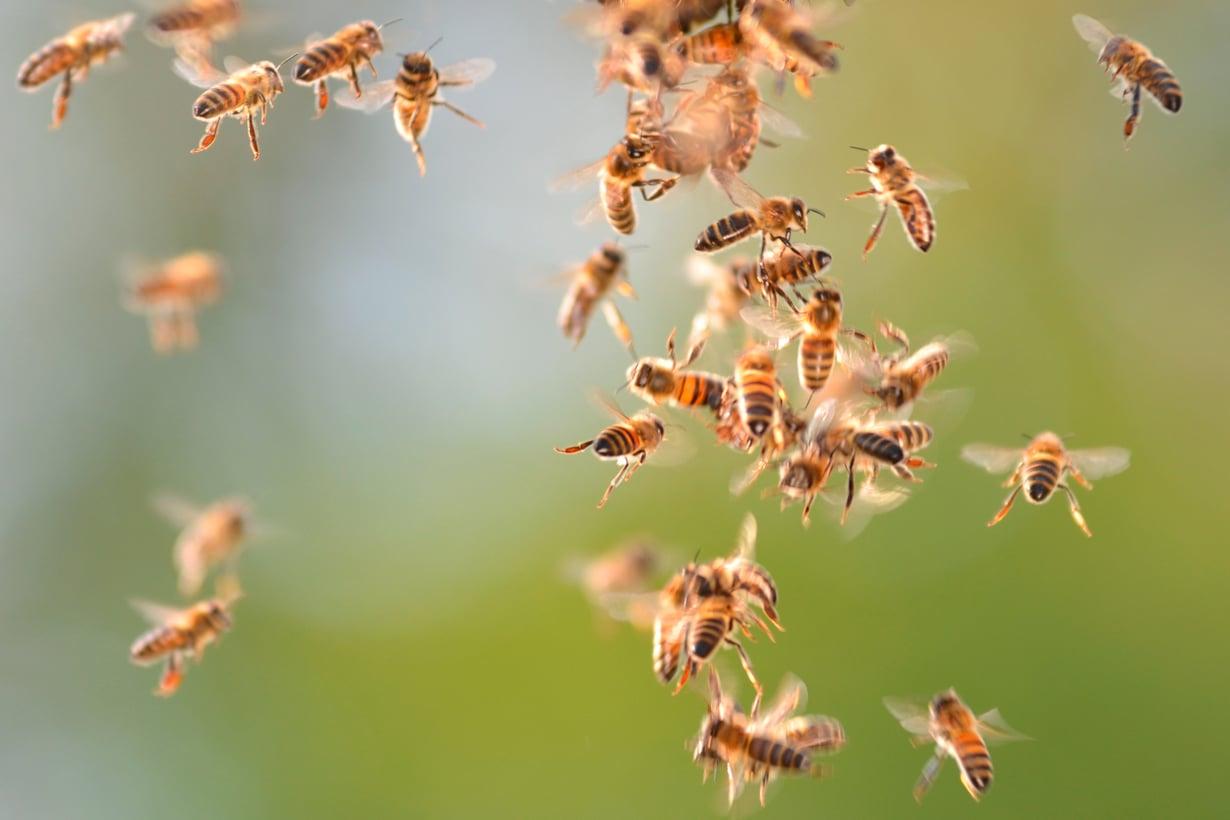 Demokratian mestareita ovat mehiläiset. Päätöksentekoa ohjaa koko kollektiivin paras. Kuva: Shutterstock
