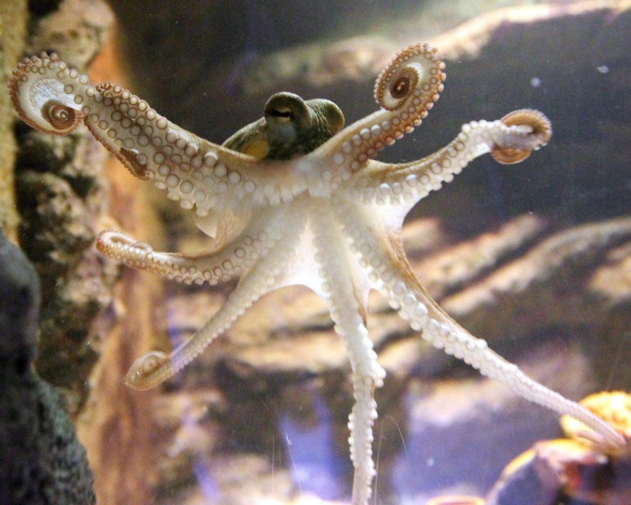 Meritursaat kuuluvat mesopelagisen merivyöhykkeen eläimiin. Nyt vyöhykkeen eläinten ääntelystä on saatu vihiä. Tämä tursas kuvattiin Helsinki Sea Life -merimaailmassa. Kuva: tuomas selänne