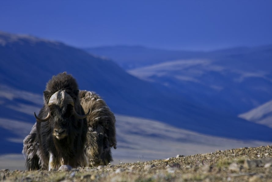 Myskihärkä hävisi jääkauden jälkeen Keski-Euroopasta, mutta niitä löytyy vielä esimerkiksi Pohjois-Amerikasta ja Grönlannista.