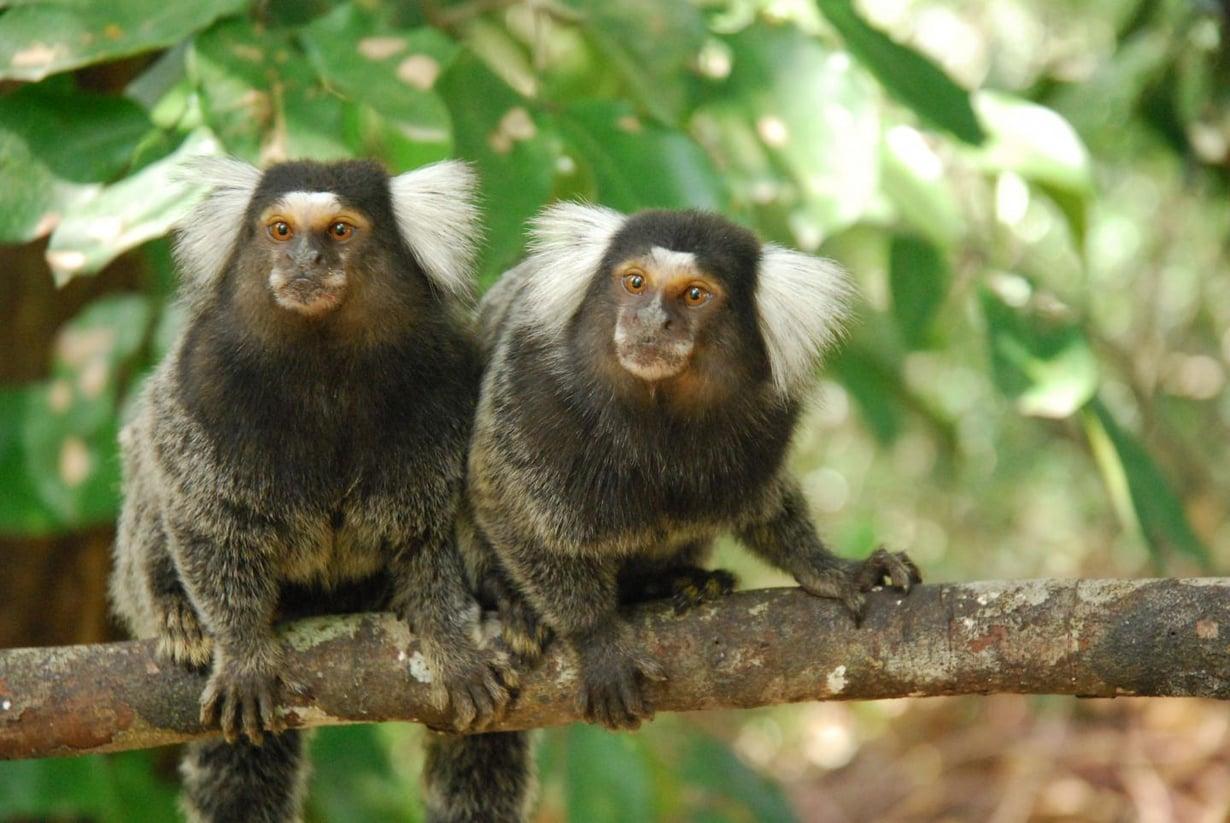 Oksitosiinihoito sai marmosettiparin huomioimaan toisiaan.  Kuva: Tina Gunhold-de Oliveira
