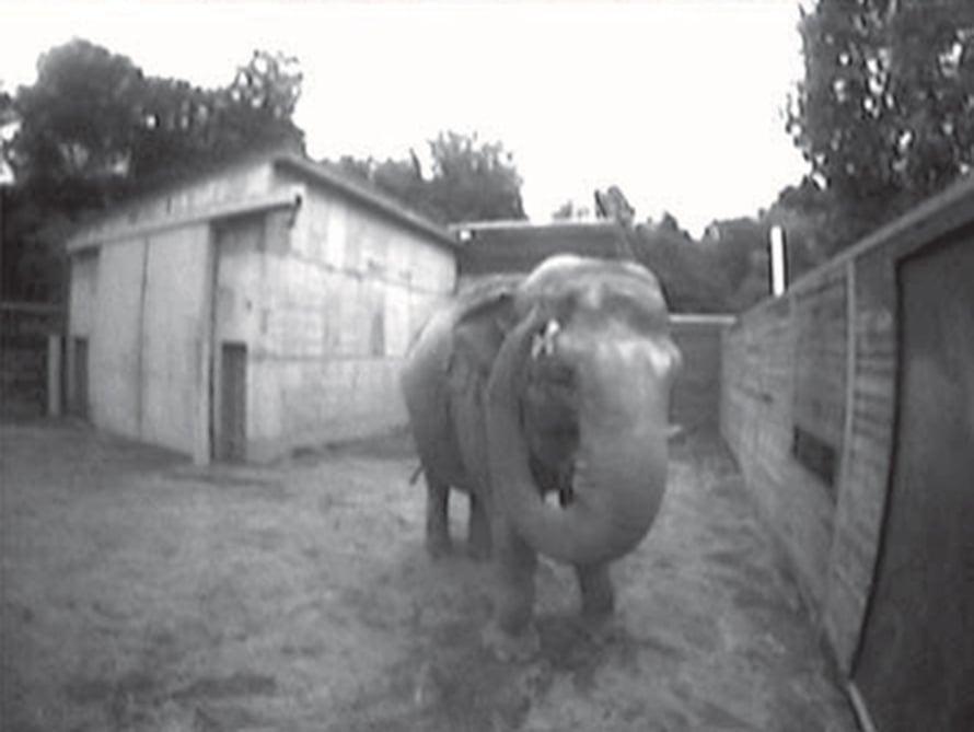 """Happy-norsu koskettaa peilistä näkemäänsä rastia. Kuva: <span class=""""photographer"""">National Academy of Sciences.</span>"""