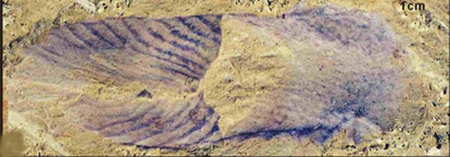 Ediacarakaudella eläneet eläimet muistuttivat saniaisia tai linnun sulkaa. Kuva. D. Shu/Northwest University