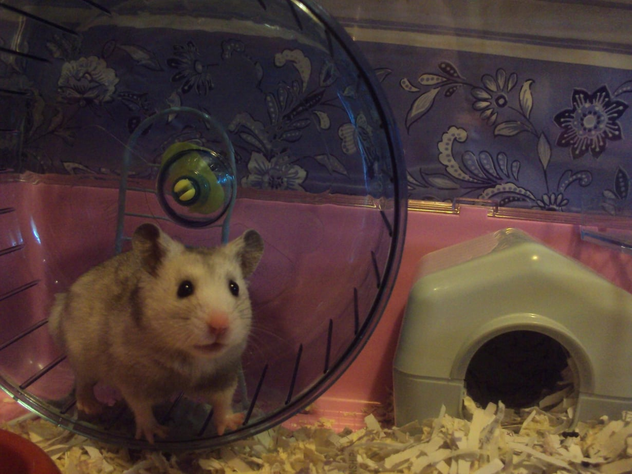 Tutkimus tehtiin hamstereilla. Kuva: Wikimedia Commons