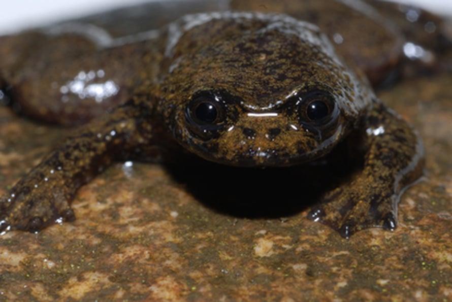 """Keuhkoton sammakko <I>Barbourula kalimantanensis</I>. Kuva: <span class=""""photographer"""">David Bickford</span>"""