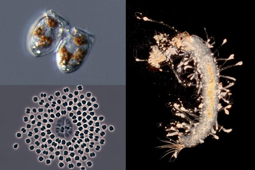 Vasemmalla yllä: Panssarilevä Dinophysis acuminata yhteyttää varastetuilla välineillä. Vasemmalla alla: Sinilevä Snowella lacustris poseeraa ryhmäkuvassa. Oikealla: Surviaissääsken toukkavainaata peittävät Oomycetes-munasienten pesäkkeet.