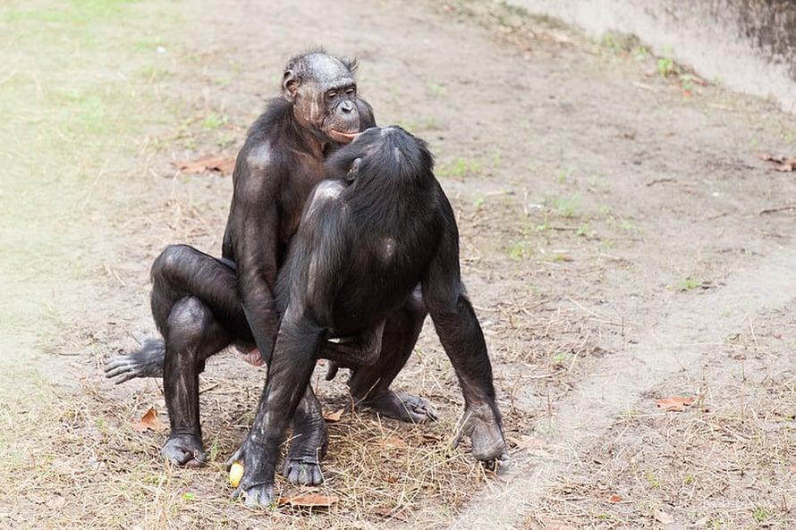 """Bonoboille """"make love, not war"""" -elämäntapa oli arkea jo miljoona vuotta ennen 1960-luvun hippiliikettä. Kuva: <span class=""""photographer"""">Rob Bixby.</span>"""