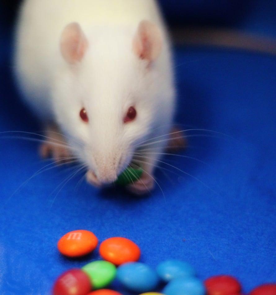 Enkefaliini usuttaa rotan ahmimaan suklaakarkkeja.