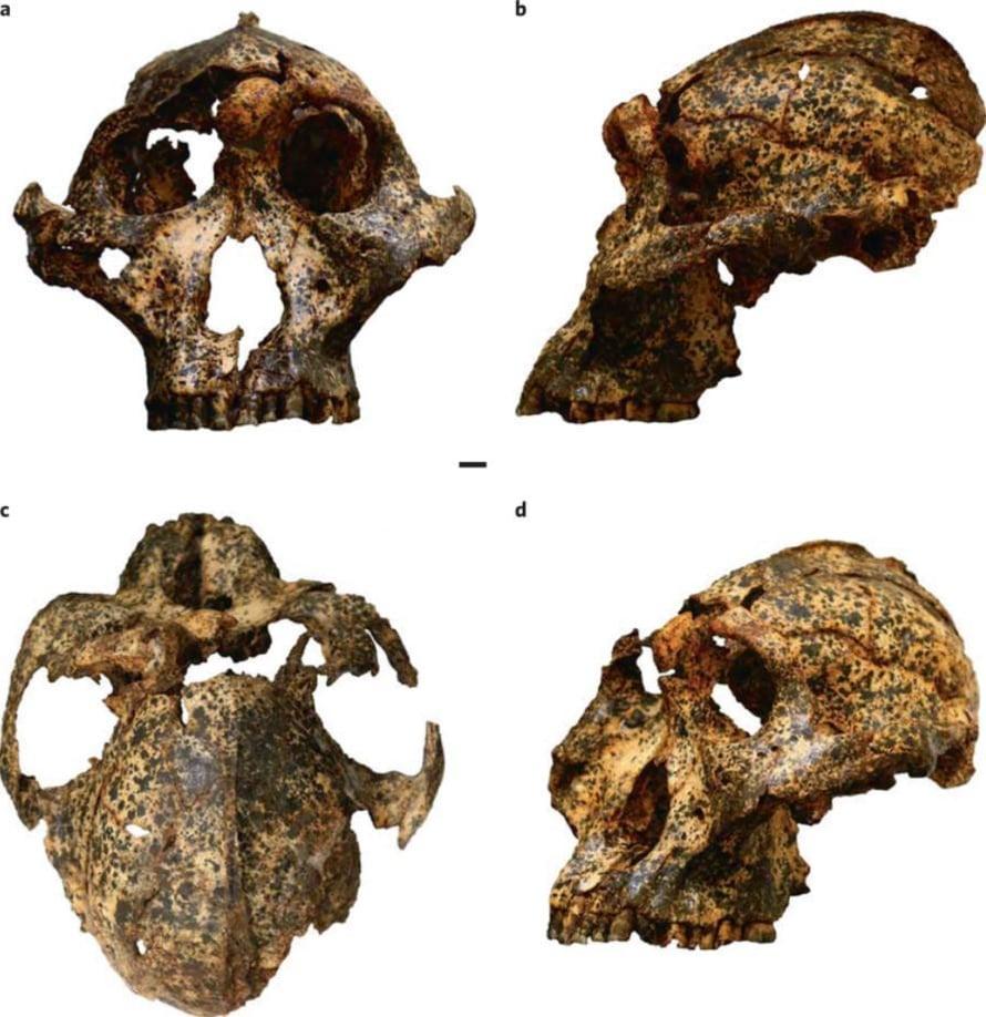 """Hampaista ja luunpalasista muodostui lähes kokonainen roteva-apinaihmisen pääkallo. Kuvassa kallo kuvattuna eri kulmista. Kuva: <span class=""""photographer"""">Nature Ecology & Evolution</span>"""