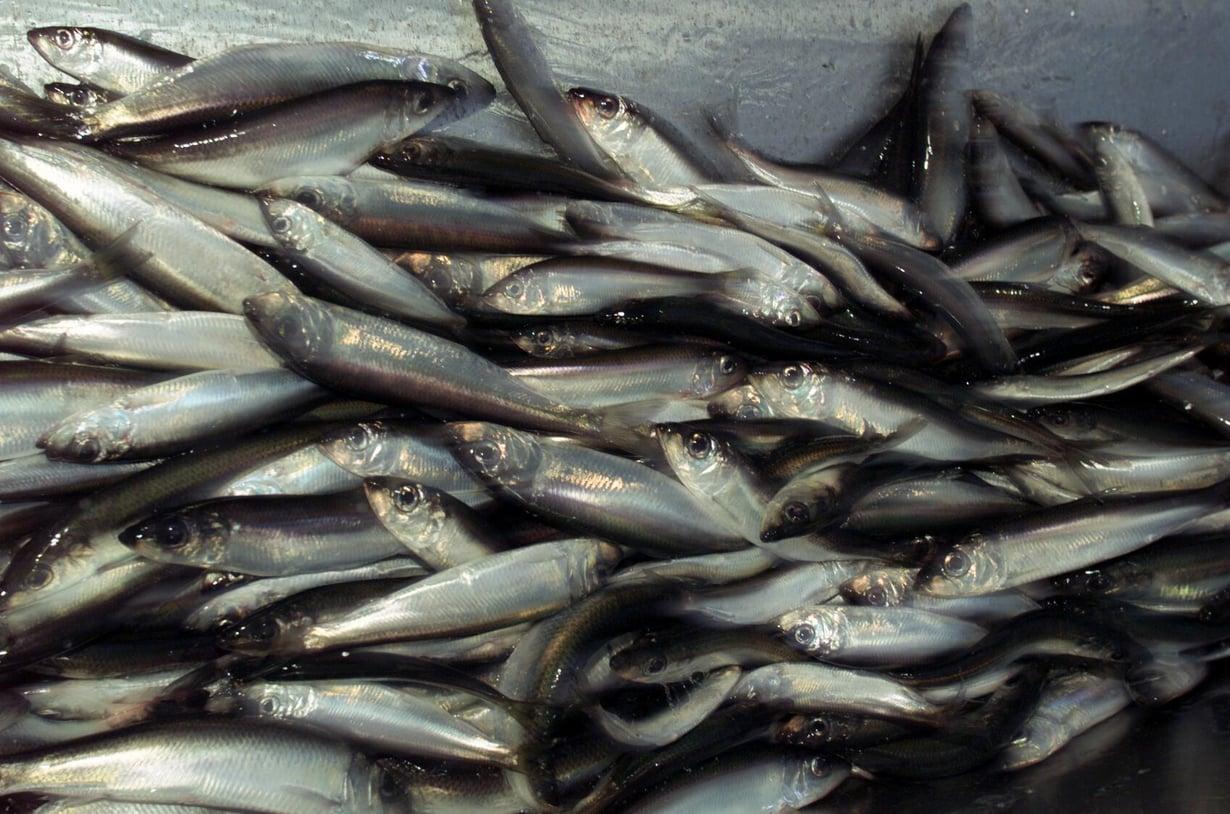 Silakoita Selkämereltä. Tuoreen tutkimuksen mukaan maailman kalansaaliiden kannalta olisi hyvä pitää lämpeneminen alle puolessatoista asteessa. Kuva: Antti Johansson / HS