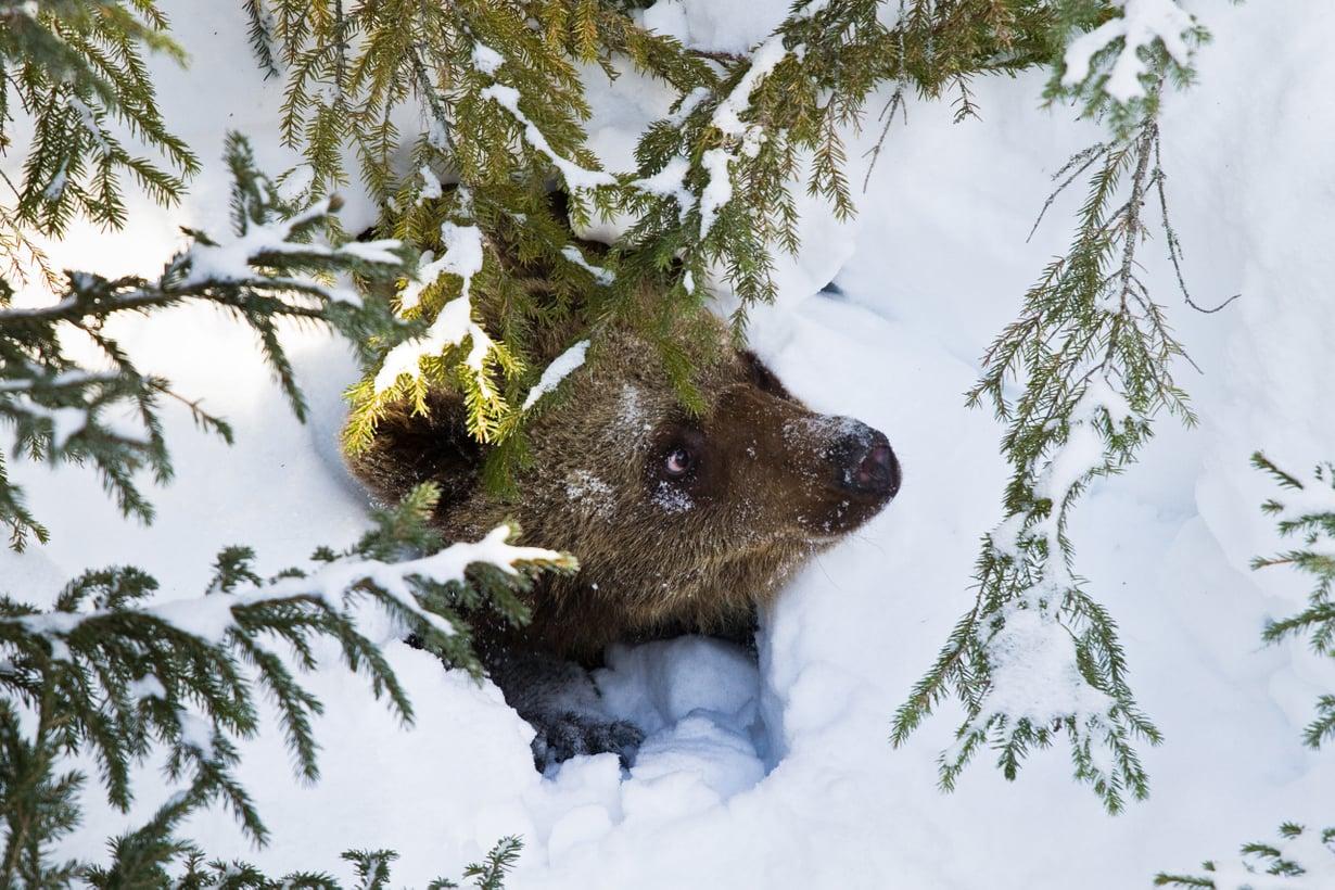 Jos karhun rasvavarastot kuluvat vähiin, se herää nälkään. Kuva: Marko Junttila/Vastavalo