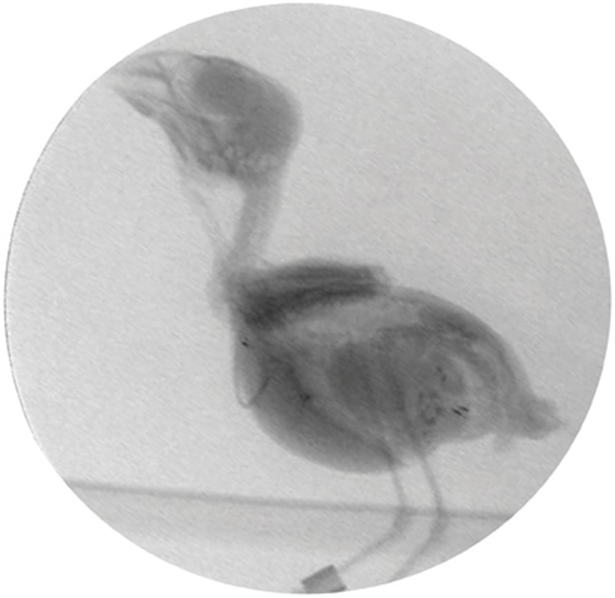 """Punakardinaali helskyttää röntgenkuvissa. Kuva: <span class=""""photographer"""">Roderick Suthers.</span>"""