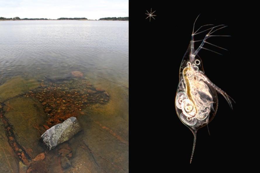 Oikealla Daphnia-suvun vesikirppu. Kuvat David Patterson. Maisemakuva Tapio Heikkilä.